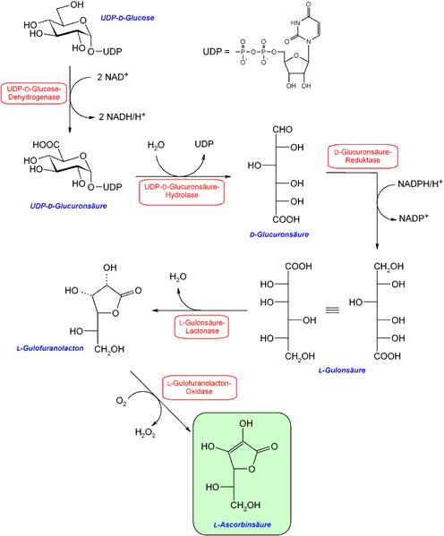 Esquema de la biosíntesis del ácido ascórbico